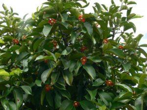 Mangosteen – commenti – ingredienti - erboristeria – come si usa – composizione