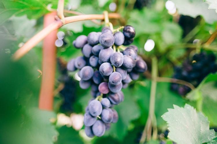 Effetti dell'olio di semi di uve, uso e studi